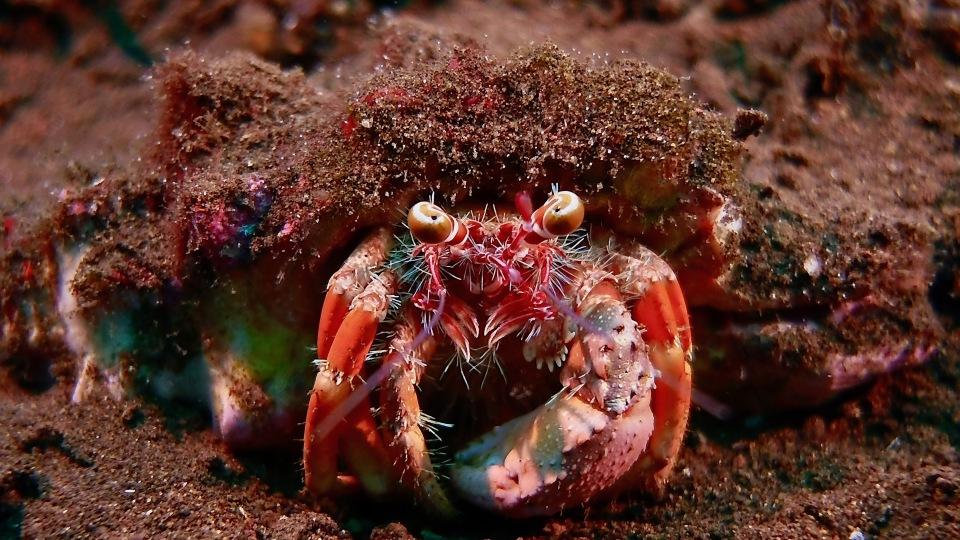 Crab, Indonesia