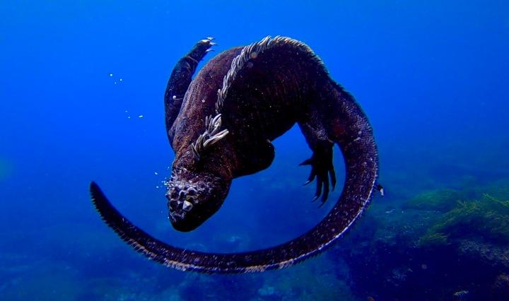 Galapagos Marine Iguanas, Ecuador