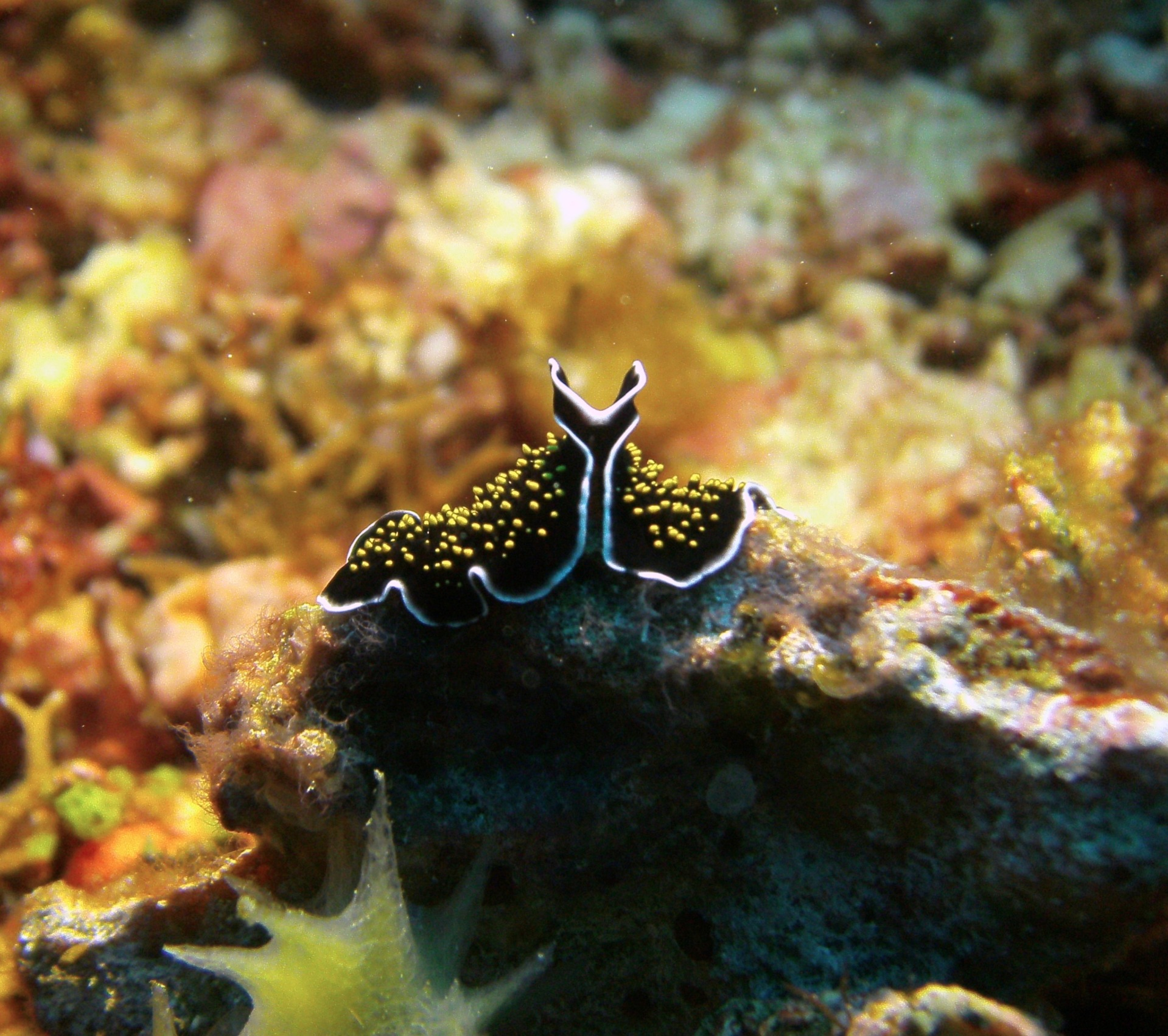 Flatworm, Indonesia
