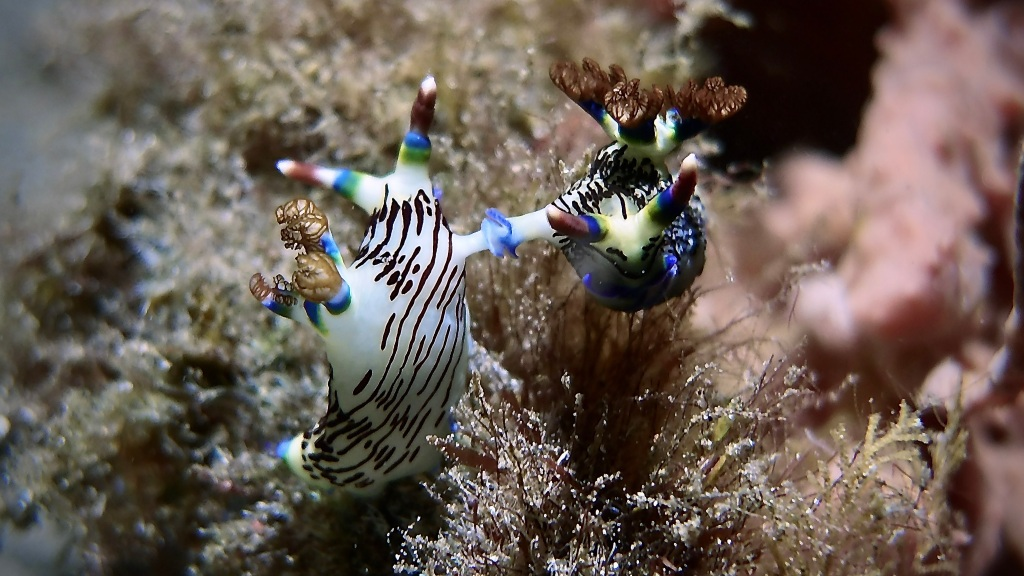 Nudibranch - Nembrotha Lineolata (Mating) Dauin, Philippines