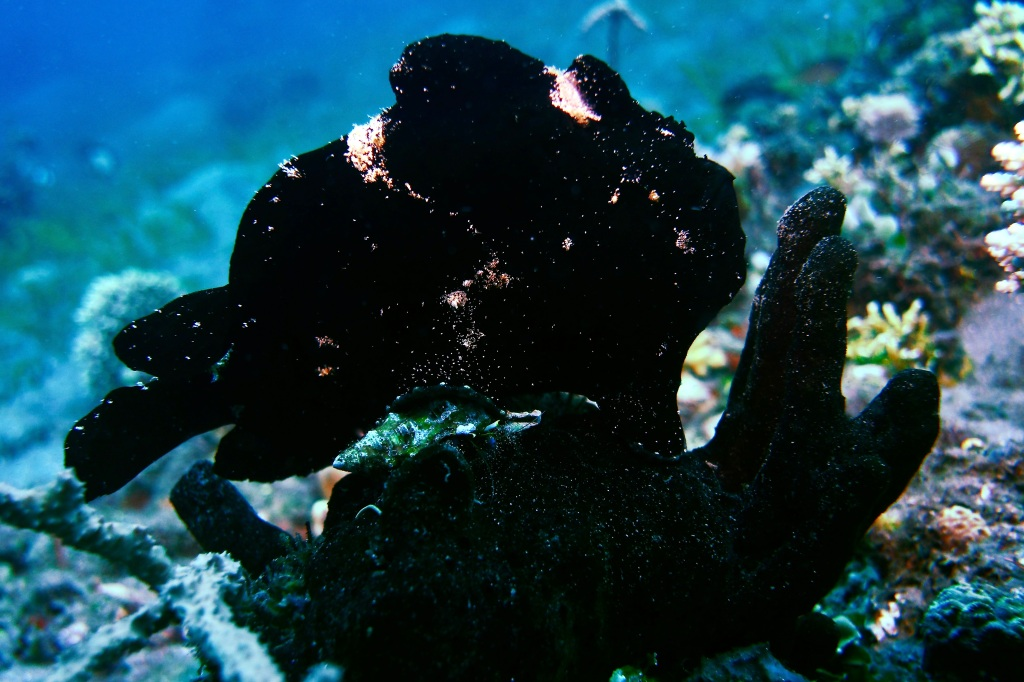 Giant Frogfish - Antennarius Commerson Dauin, Philippines