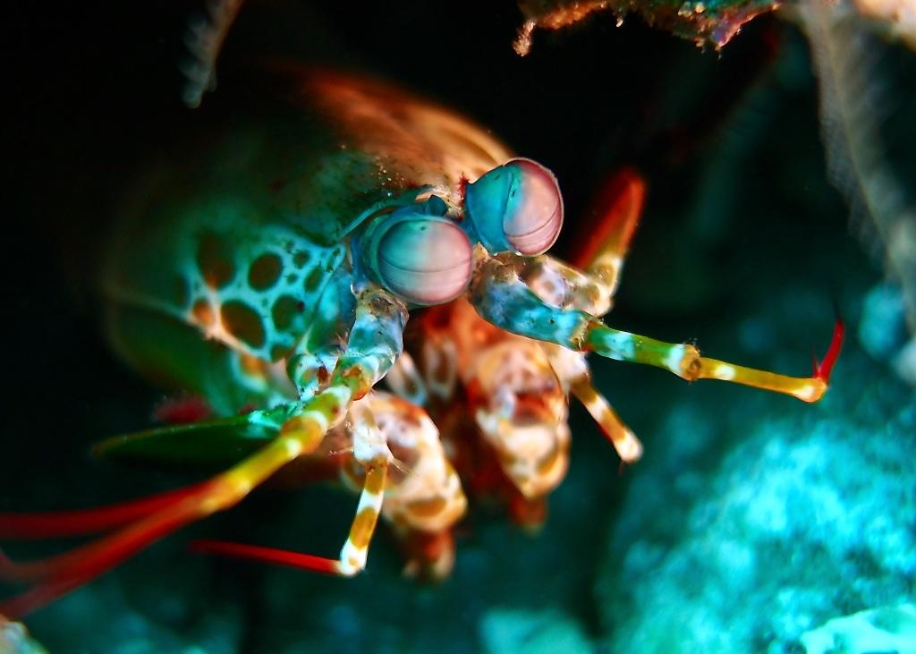 Peacock Mantis Shrimp - Odontodactylus Scyllarus Dauin, Philippines