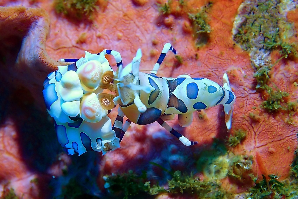 Harlequin Shrimp - Hymenocera Picta Dauin, Philippines