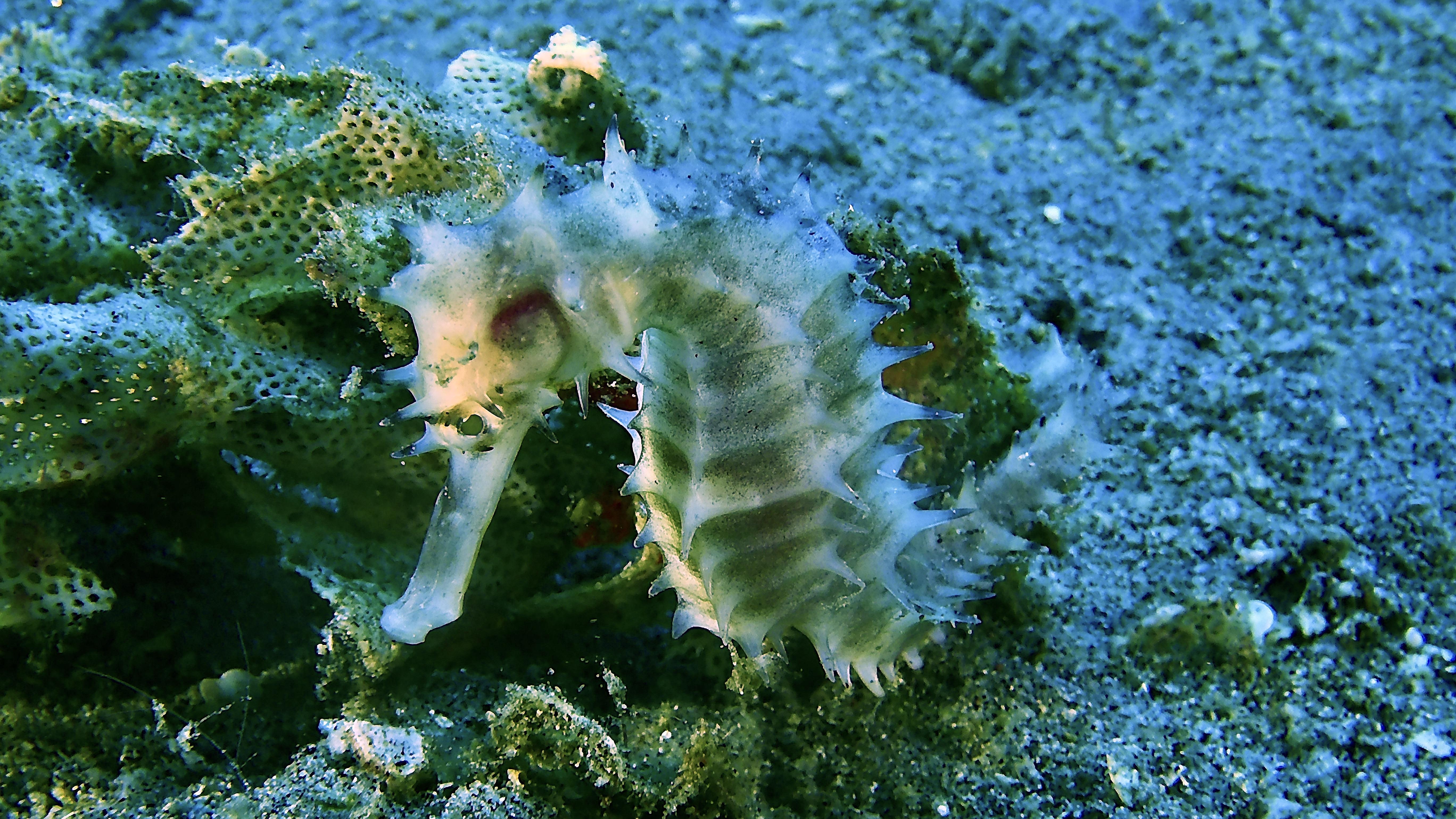 Thorny Seahorse Philippines