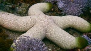 Green-Tipped Sea Star