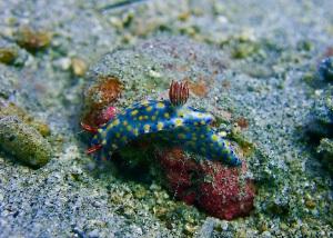 Colorful Hypselodoris