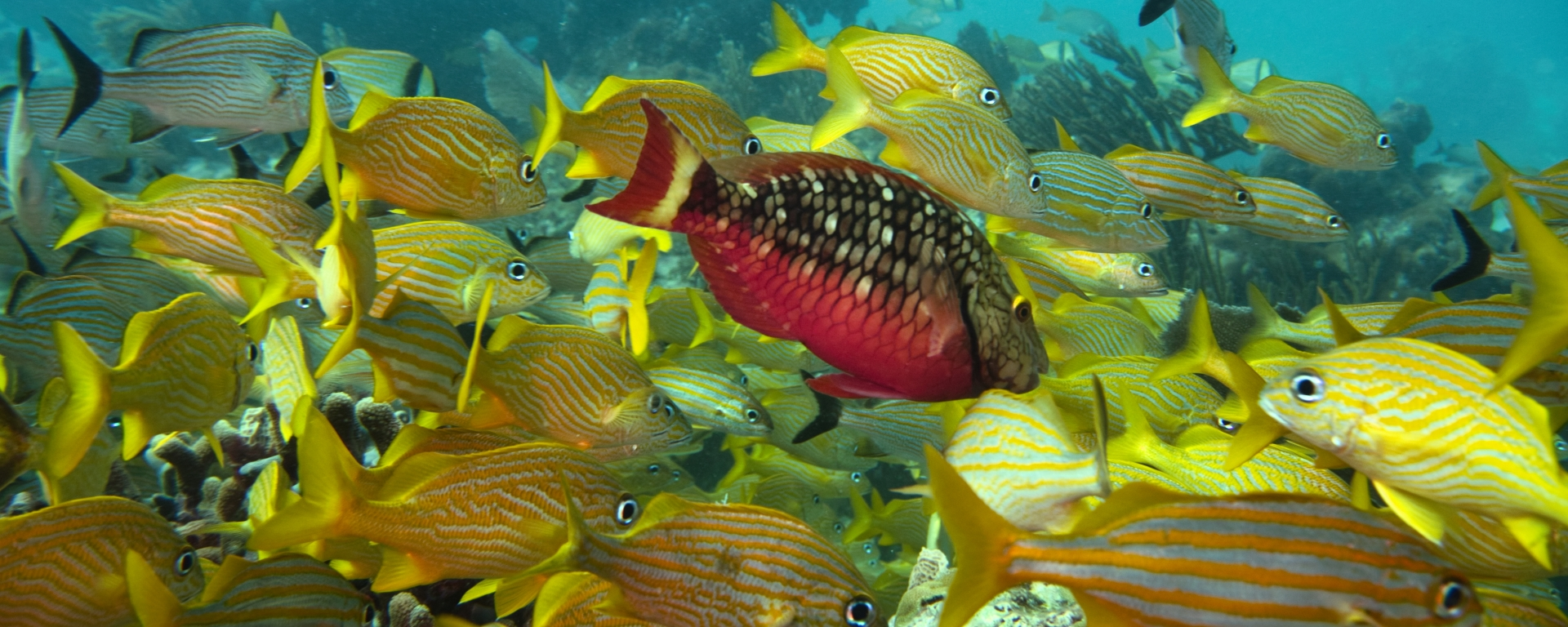 Stoplight Parrotfish and school of yellow grunts