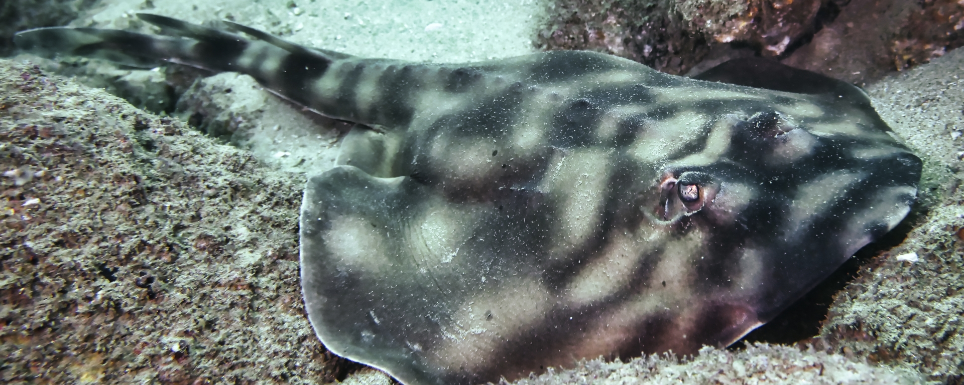 Banded Guitarfish just off the coast of Cabo San Lucas, Mexico