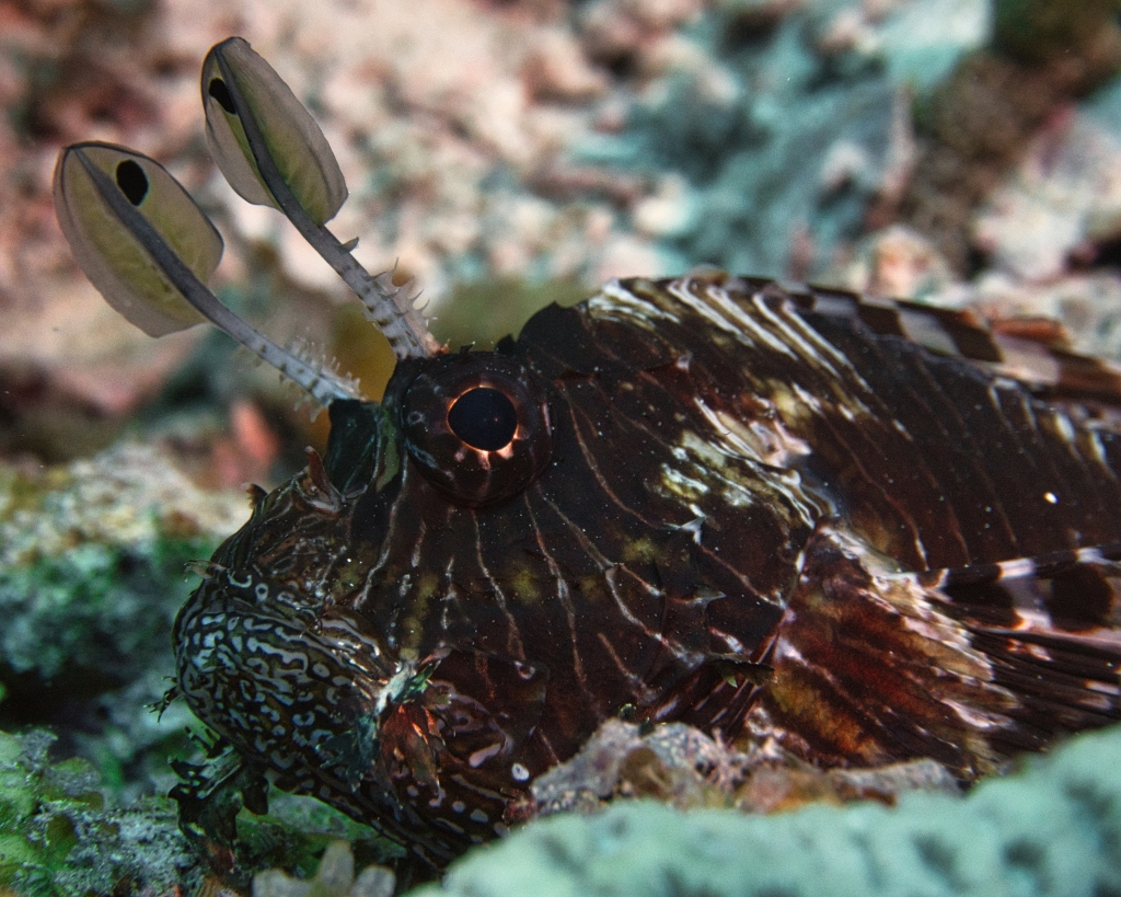 A beautiful and dangerous Lionfish waiting for prey in the Maldives
