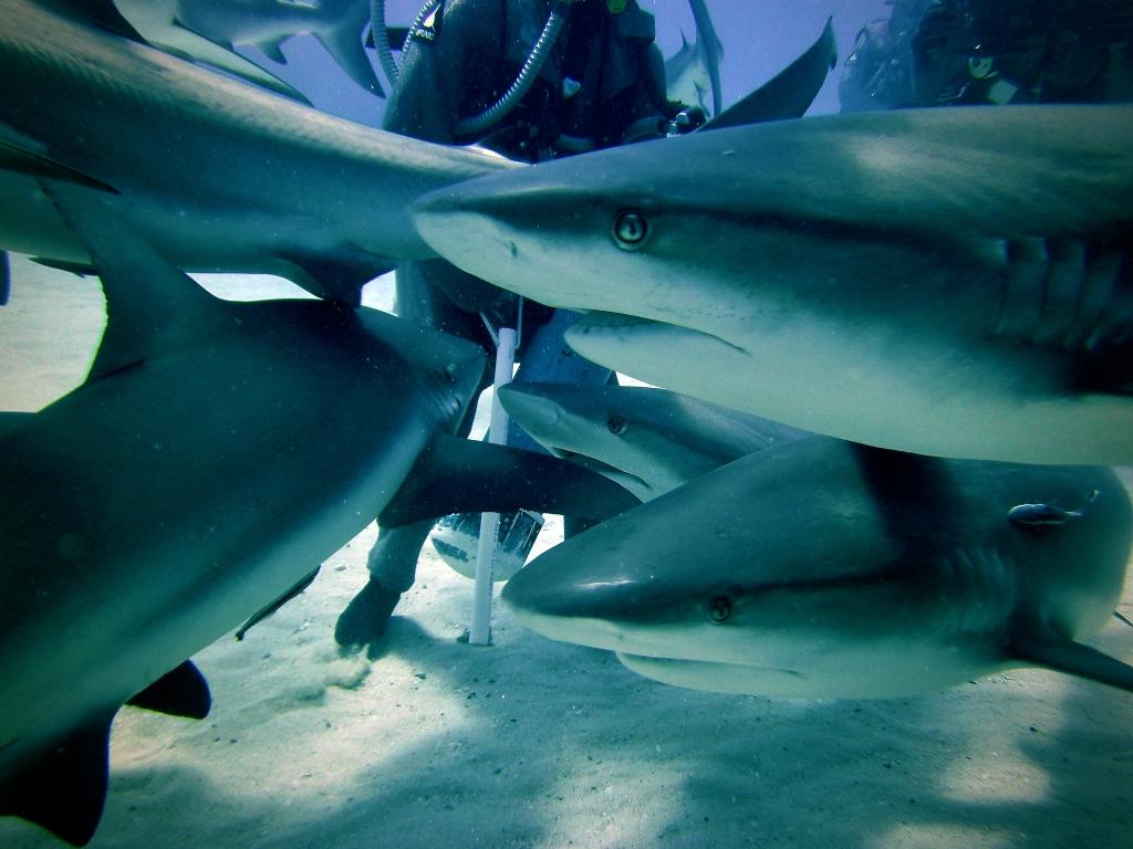 Scuba diver feeding caribbean reef sharks