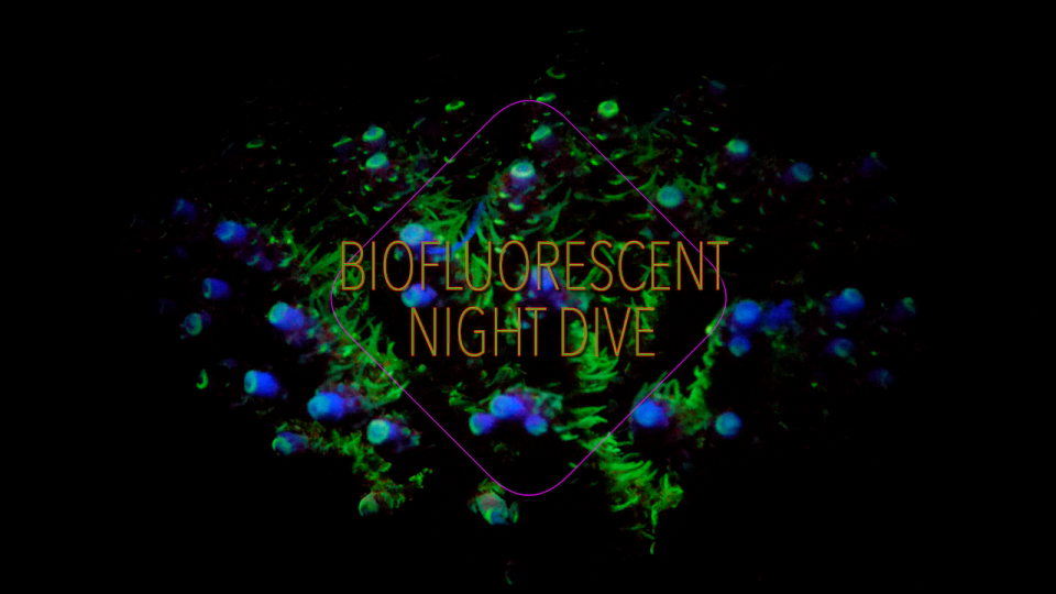 Biofluorescent coral on a night dive in the maldives